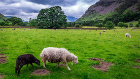 View to herd of sheep on pasture in District Lake. UK Royalty Free Stock Photos
