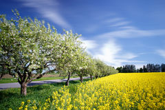 View to rape field Royalty Free Stock Images