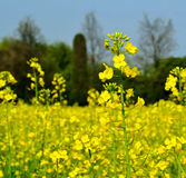 View to rapeseed yellow flowers in a sunny spring day. Stock Photo