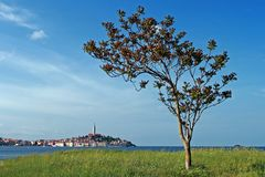 View to Rovinj and the tree Royalty Free Stock Images