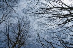 View to sky through leafless trees. Blue sky, seen throug silhouettes of branches and crown of trees Stock Images