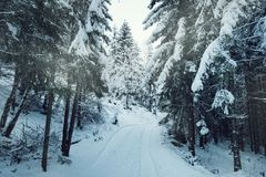 Road in winter evergreen forest. View to snowy rural road in evergreen forest in sunny day Stock Photos