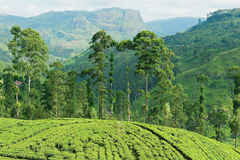 View to the tea plantation near Kandy, Sri Lanka. Royalty Free Stock Photography