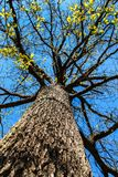 View to the top of an oak tree in spring. Branches of a mighty oak tree against a blue sky.  royalty free stock photo