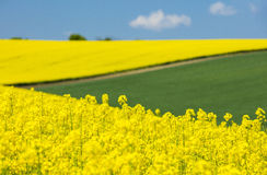 View to yellow raper flowers and green field Royalty Free Stock Photography