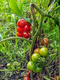 View of tomato growing field from the inside royalty free stock images