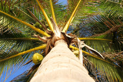 The view of the top coconut tree Stock Image