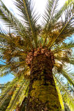 View on top of high palm from ground at sunny day Stock Image