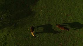 Horses Running and Pasturing on a Country side Aerial View Green Grass Live stock Mountains and Lakes day time Sun Set. View from the top Horses Running and stock footage