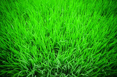 View from the top of rice paddy Royalty Free Stock Photo