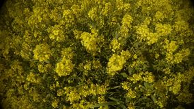 View from top to bottom on a field of yellow rape flowers close-up panorama. Ancient Olive Trees, a collection of landscapes in an old olive garden in winter stock footage