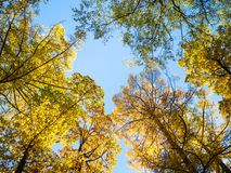 view of tops of oak, larch and birch trees royalty free stock photography