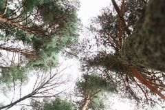 View of the tops of the pine trees in winter forest from the ground. royalty free stock image