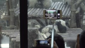 Tourists take selfies and pictures of a Panda. View of tourists taking selfies and pictures of a Panda stock video