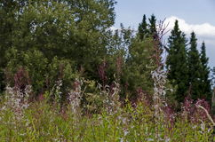 View toward green forest and wild grass of mountain purple flowers. Vitosha mountain, Bulgaria Royalty Free Stock Images