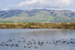 View towards Monument Peak; coots swimming on a salt pond; Don Edwards Wildlife Refuge, south San Francisco bay, Alviso, San Jose. California stock photography