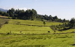 View of a traditional woman, cows, trees royalty free stock photography