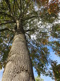 View of a tree in autumn from below. I took this photograph in a public park near Vancouver lake at Vancouver Washington royalty free stock photography