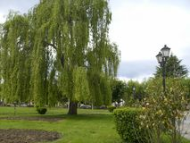 View of tree called weeping willow. In its fullness. Spring time stock photo