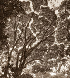 View of tree canopy Royalty Free Stock Photo