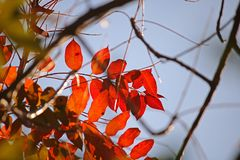 BRIGHT RED AUTUMN LEAVES AGAINST BLUE SKY stock photo