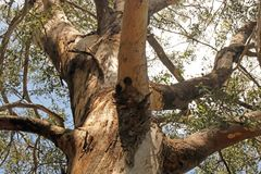 STURDY TREE WITH STRONG BRANCHES Stock Photography