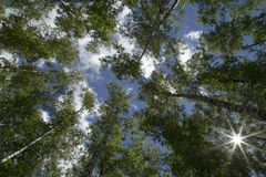 View of Tree Tops from Below on a background of blue sky with cl Stock Photos