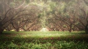 View of tree tunnel in soft foucus look in Chiang Rai, Thailand. Beautiful view of tree tunnel in soft foucus look in Chiang Rai, Thailand stock photography