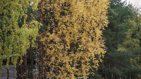 View of tree with yellow leaf in autumn day. Calmly waving from wind. Nature. Park stock video footage