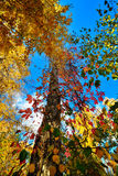 View of the trees. From below with leaves autumn Royalty Free Stock Photo