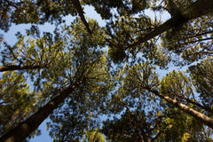 View of trees from below. View of from pine forest Stock Photos