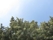 View of trees from below. Tops of trees against the blue sky, spruce branches stock images