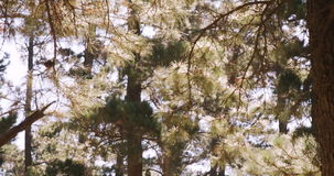 View of trees in forest. On a sunny day stock footage