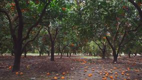 View of trees with ripe oranges. Panorama stock video