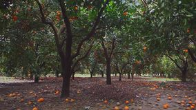 View of trees with ripe oranges. Slow motion stock video