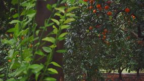 View of trees with ripe oranges. Slow motion stock video footage