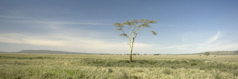 View of trees in the Serengeti Stock Image