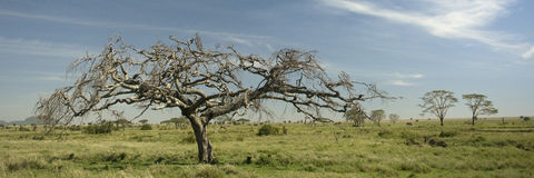 View of trees in the Serengeti Stock Images