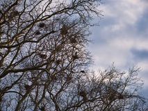 View into a treetop with numerous nests stock photography