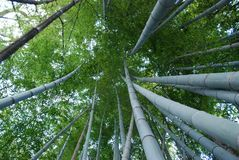 Bamboo forest. View of treetops from the bottom in bamboo forest in Kamakura, Japan Royalty Free Stock Photos