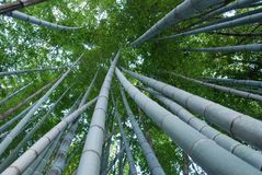 Bamboo forest. View of treetops from the bottom in bamboo forest in Kamakura, Japan Royalty Free Stock Image