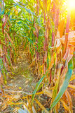 View trhough rows of plants on corn field Stock Photos