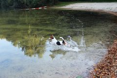 View on a tri color jack russell terrier jumping into the water having fun in meppen emsland germany. And photographed during a walk in the nature stock images
