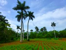 Cuban agricultural field with palm trees, colorful red brown soil, crop in front of blue sky royalty free stock photos