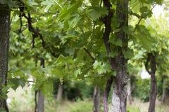View trough the grape-vine. A view trough the grape-vine Stock Photo