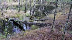 View of the trunk of an old pine tree lying in a spring stream in the forest. A view of the fallen pine lying in the water of the spring river. Around the riot stock video footage