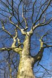 View of the trunk of a sun-lit thick bare birch tree with wide-spread bare branches, against a backdrop of a clear blue sky stock photo