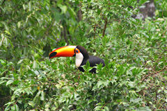 View of the Tucan Toco from South america Stock Photography