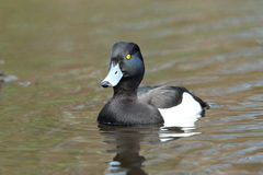 Tufted duck. Stock Images