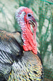 View of a turkey head stock photos